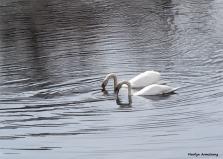 180-graphic-swans-april-2013-04152013_073