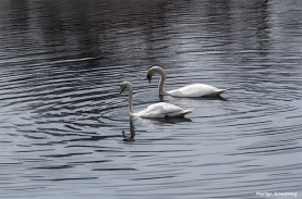 Together forever, swans mate for life