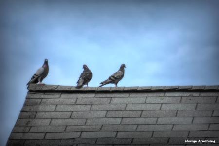 180-Three-Pigeons-072014_045