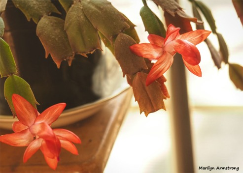 300-graphic-christmas-cactus-new-02132018_006