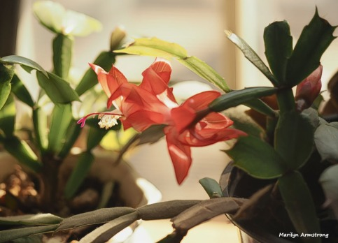 300-graphic-christmas-cactus-new-02132018_010