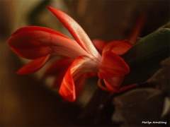 300-graphic-christmas-cactus-new-02132018_016