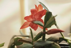 300-graphic-christmas-cactus-new-02132018_018