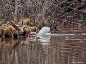 Protecting the nest -- Incoming geese and nesting swan