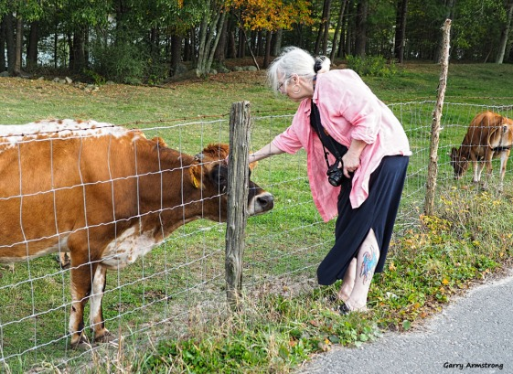 Marilyn with Cows - Photo: Garry Armstrong