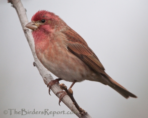 Red House Finch 3