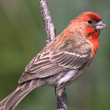 Red House Finch audubon