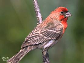 Red House Finch audubon