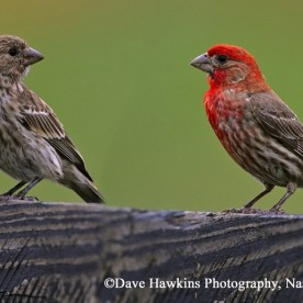 Red House Finch- pair