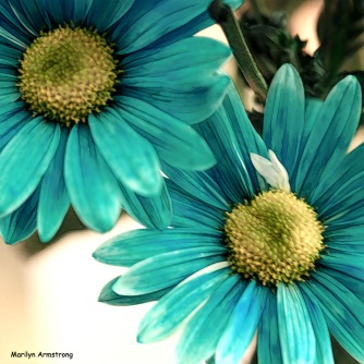 Blue and yellow daisies