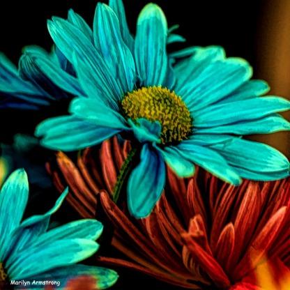 300-squared-hdr-macro-blue-daisy-03172018_016