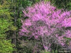 180-Flowering-Cherry-Paint-Uxbridge-Mid-May-05112018_005