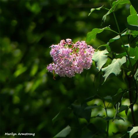 180-Last-Lilac-Square-Lawn-And-Garden-FZ300-05232018_002