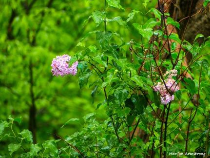 180-Lilac-Closeup-05192018_003
