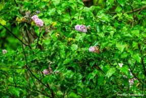 180-Lilac-Closeup-05192018_004