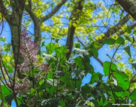 180-Painting-Lilacs-Garden-05112018_077