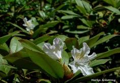 180-Rhododendron-Blooming-Garden-05112018_075