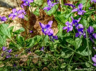 180-Violets-05052018_002