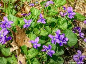 180-Violets-05052018_010