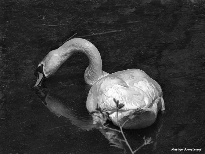 300-bw-swan-portrait-mar-050417_138