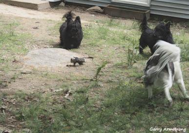 300-dogs-in-yard-gar-05182018_212