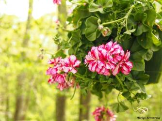 300-geranium-woodsy-05112018_014