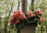 Hanging Begonia