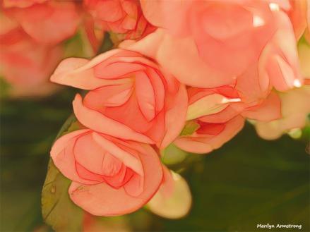300-macro-graphic-pink-begonias-05092018_018