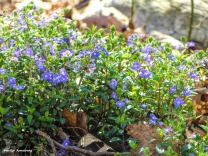 300-Mayflowers-Late-Spring-05052018_021
