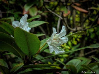 300-Rhododendron-05172018_006