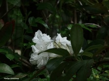 300-Rhododendron-05172018_008