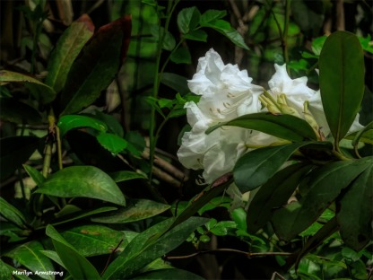 300-Rhododendron-05172018_010