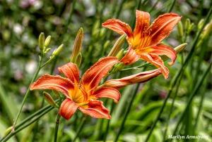 180-Lilies-Late-June-Garden-240618_024
