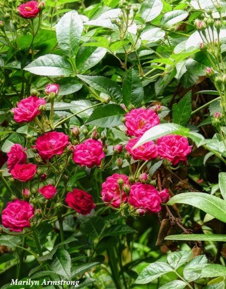 180-Roses-Late-June-Garden-240618_016