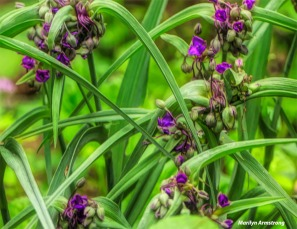 180-Spiderwort-Late-June-Garden-240618_066
