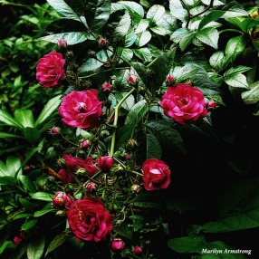 180-Square-Roses-Late-June-Garden-240618_017