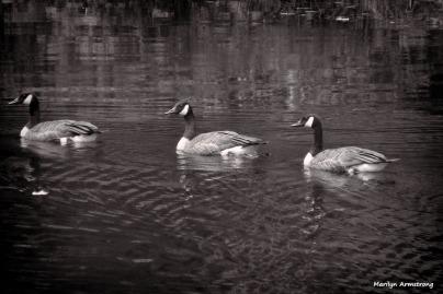 300-BW-Geese-08042014_29