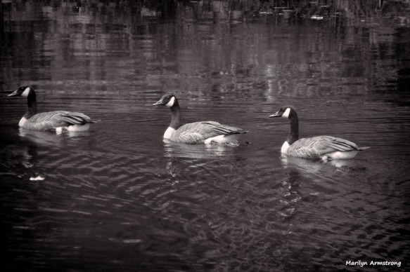 300-BW-Geese-08042014_29