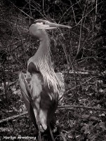 300-BW-Great-Blue-Dam-HERON_04192015_036