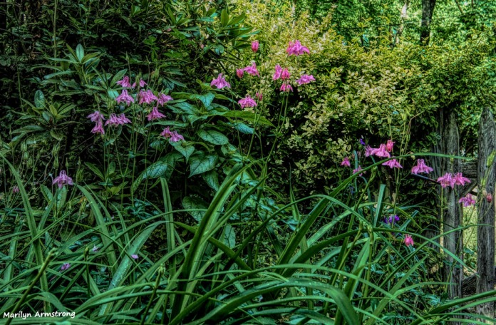 300-Columbine-June-GardenPentx-030618_001