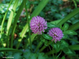 300-Giant-Thistle-June-Garden-Pentax-030618_019