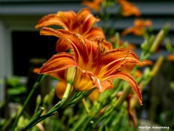 Bright lilies