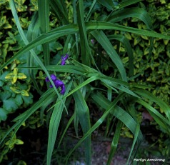 300-Spiderwort-June-GardenPentx-030618_023