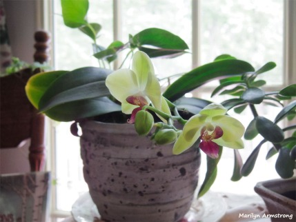 300-Two-Orchids-with-buds-090618_008