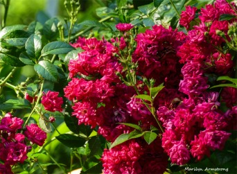 This is one of my top two rose photo favorites. The two pictures are very much alike.