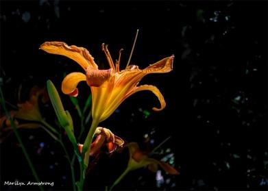 180-4-Daylilies-3-080718_001