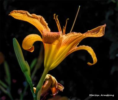 180-Daylilies-3-080718_004