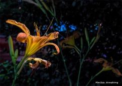 180-Daylilies-3-080718_015