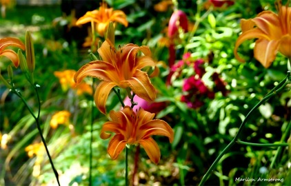 180-Daylilies-Fourth-July-040716_105