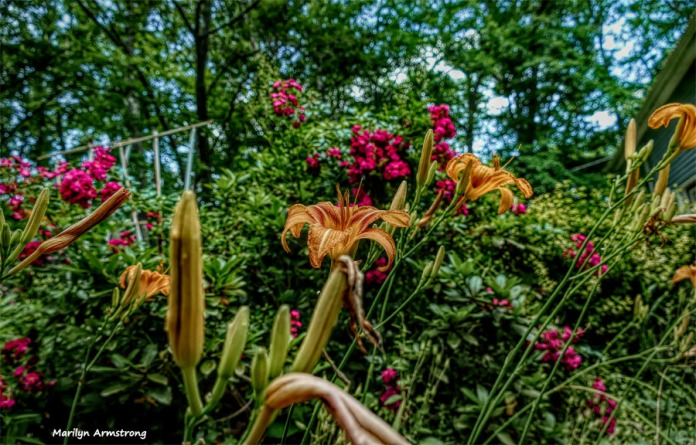 Daylilies and roses